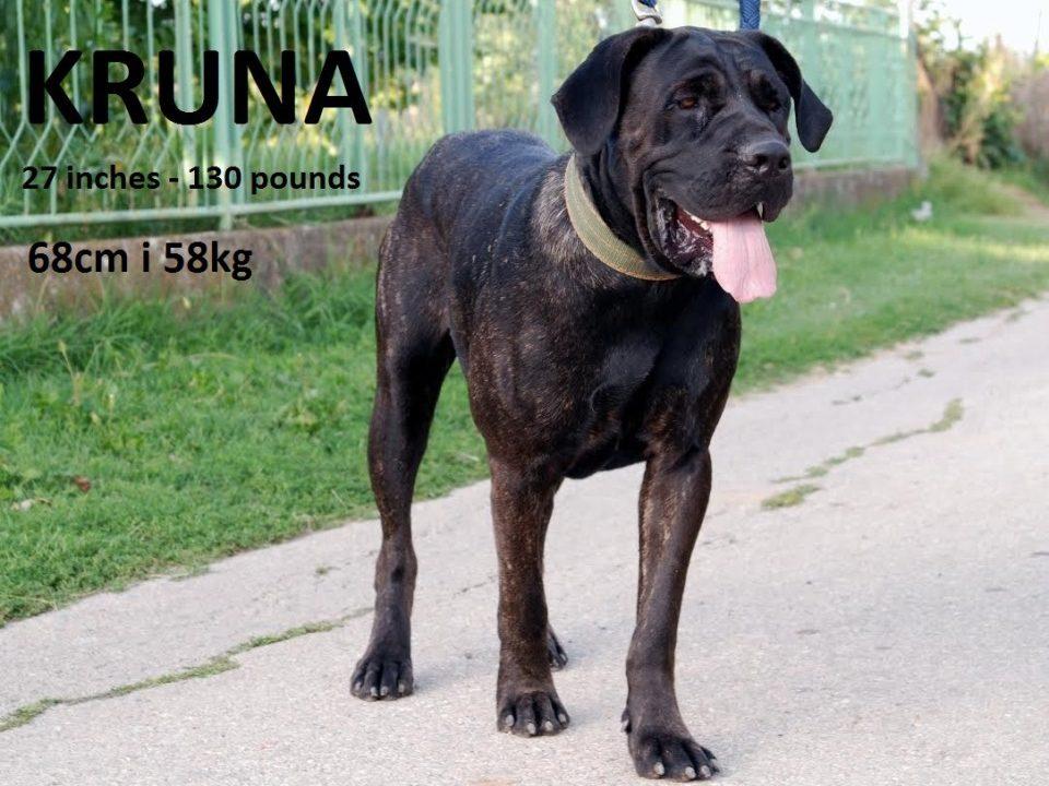 srpski odbrambeni pas ogroman